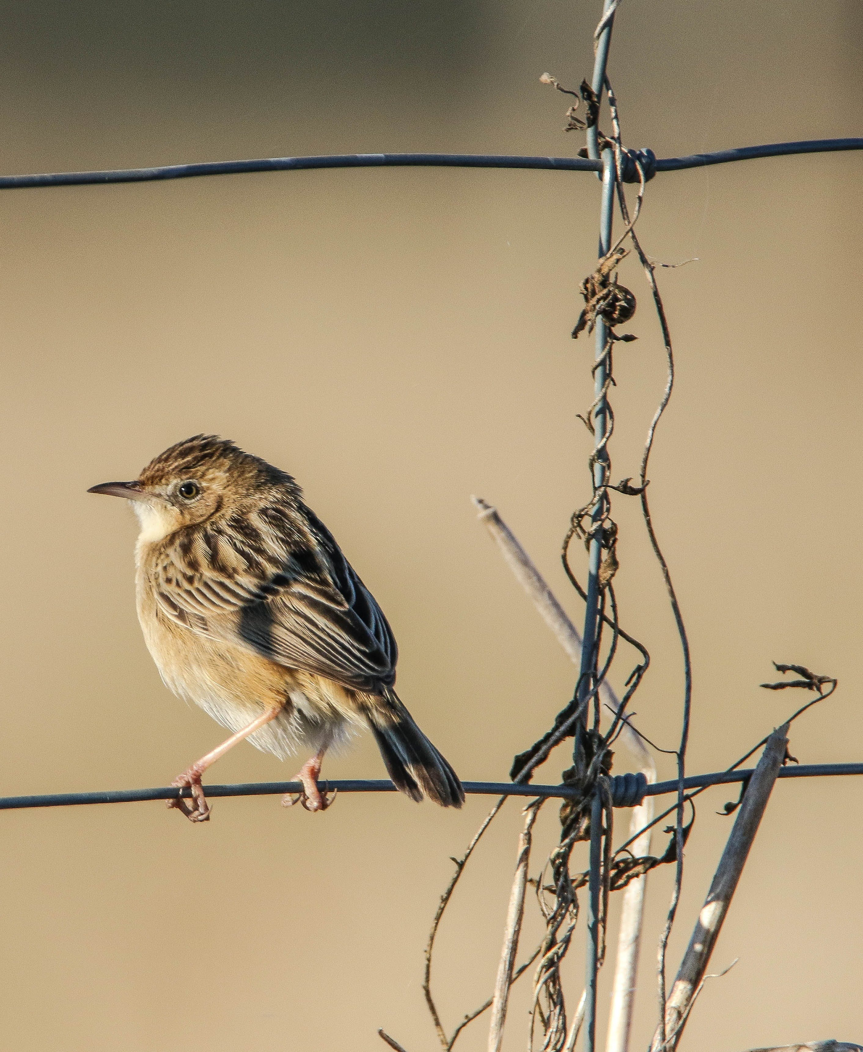 Brown Sparrow Perching on Hog Wire Fence