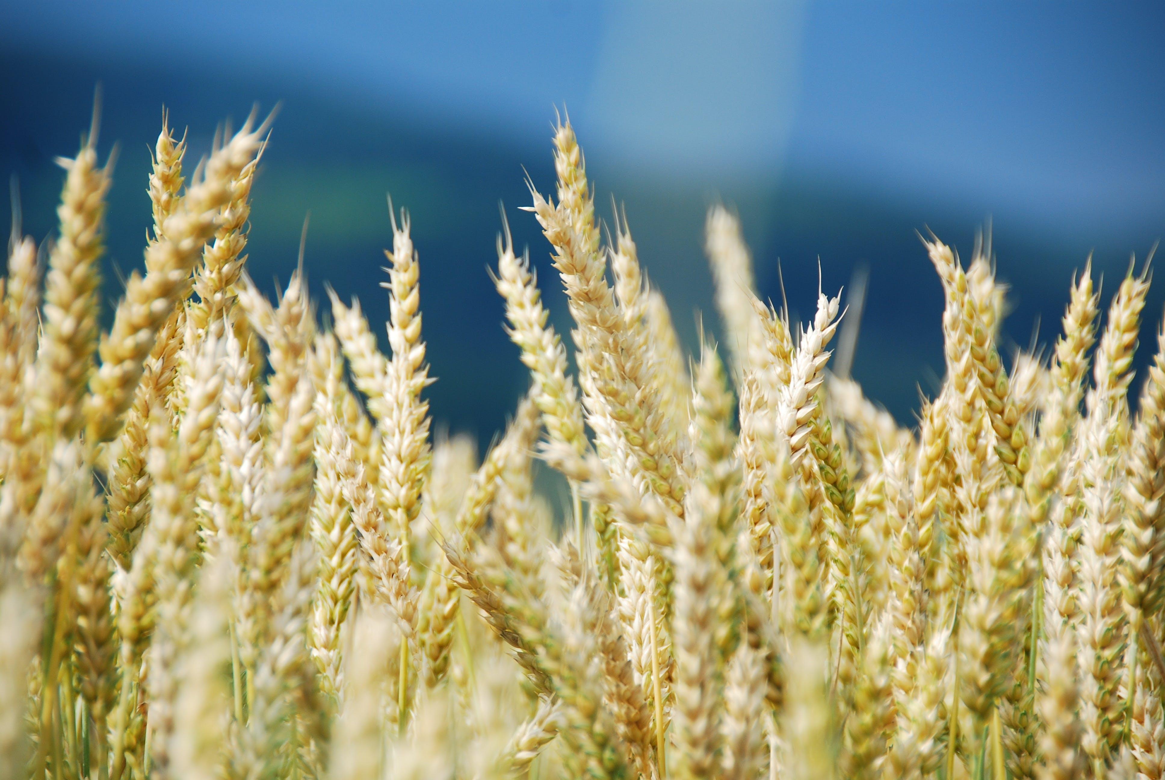 Free stock photo of landscape, cereals, lighting, cornfield