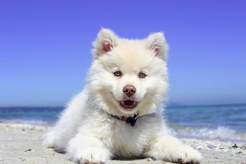 White American Eskimo Puppy Lying on Seashore