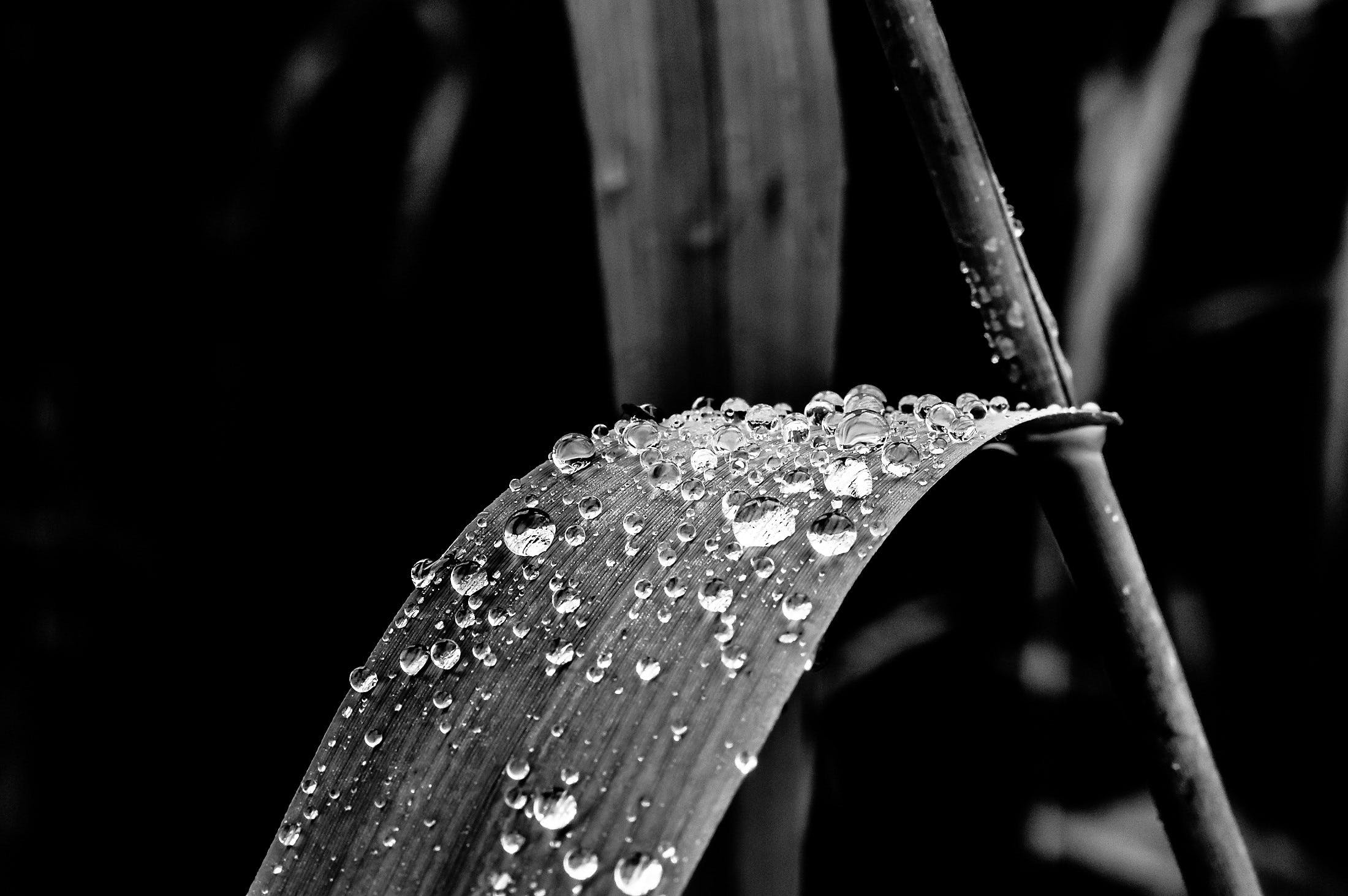 Grayscale Photo of Leaf With Dew Drops