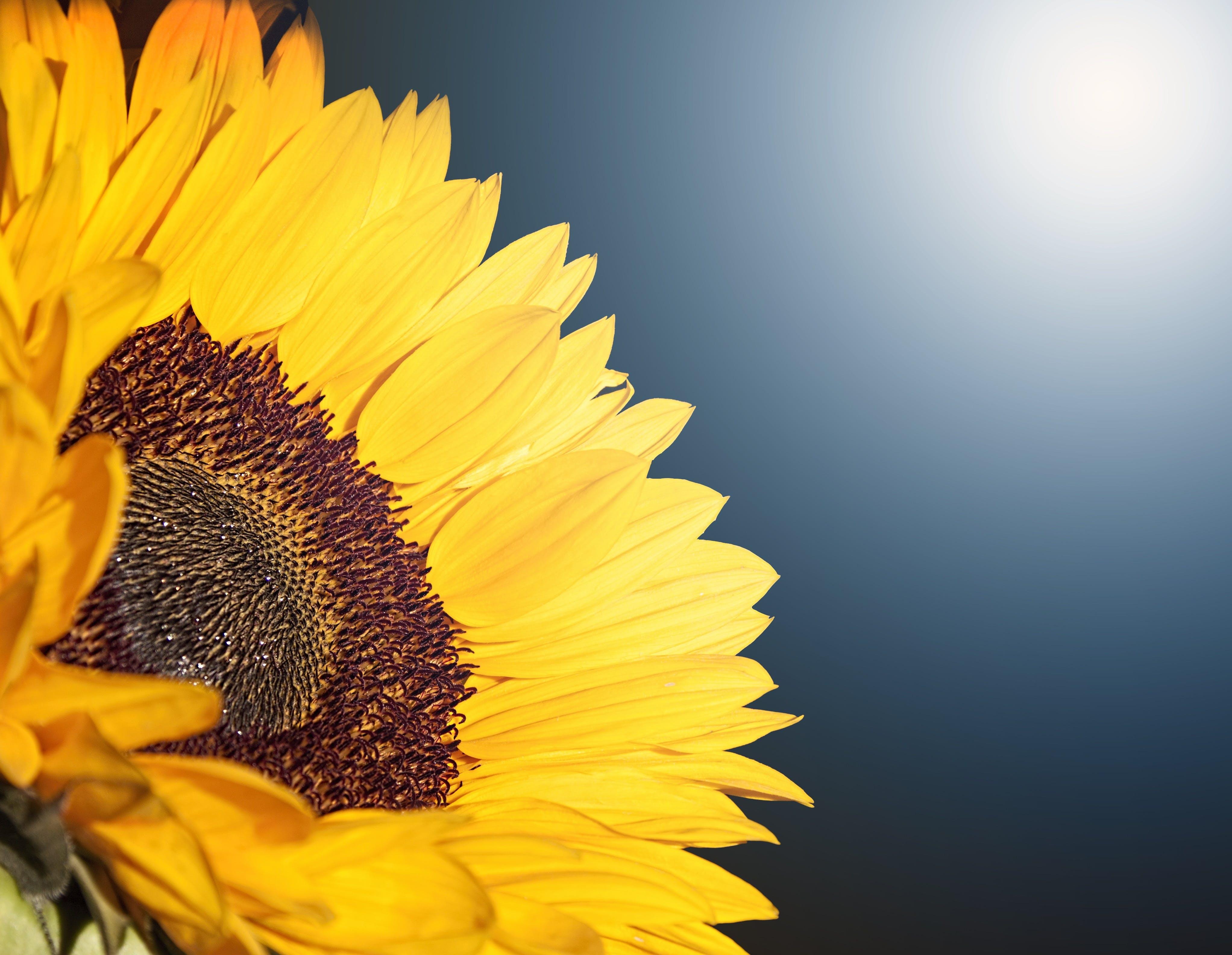 คลังภาพถ่ายฟรี ของ กลีบดอก, ธรรมชาติ, พฤกษา, วอลล์เปเปอร์ HD