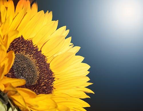 ayçiçeği, bitki örtüsü, çiçek, Çiçek açmak içeren Ücretsiz stok fotoğraf
