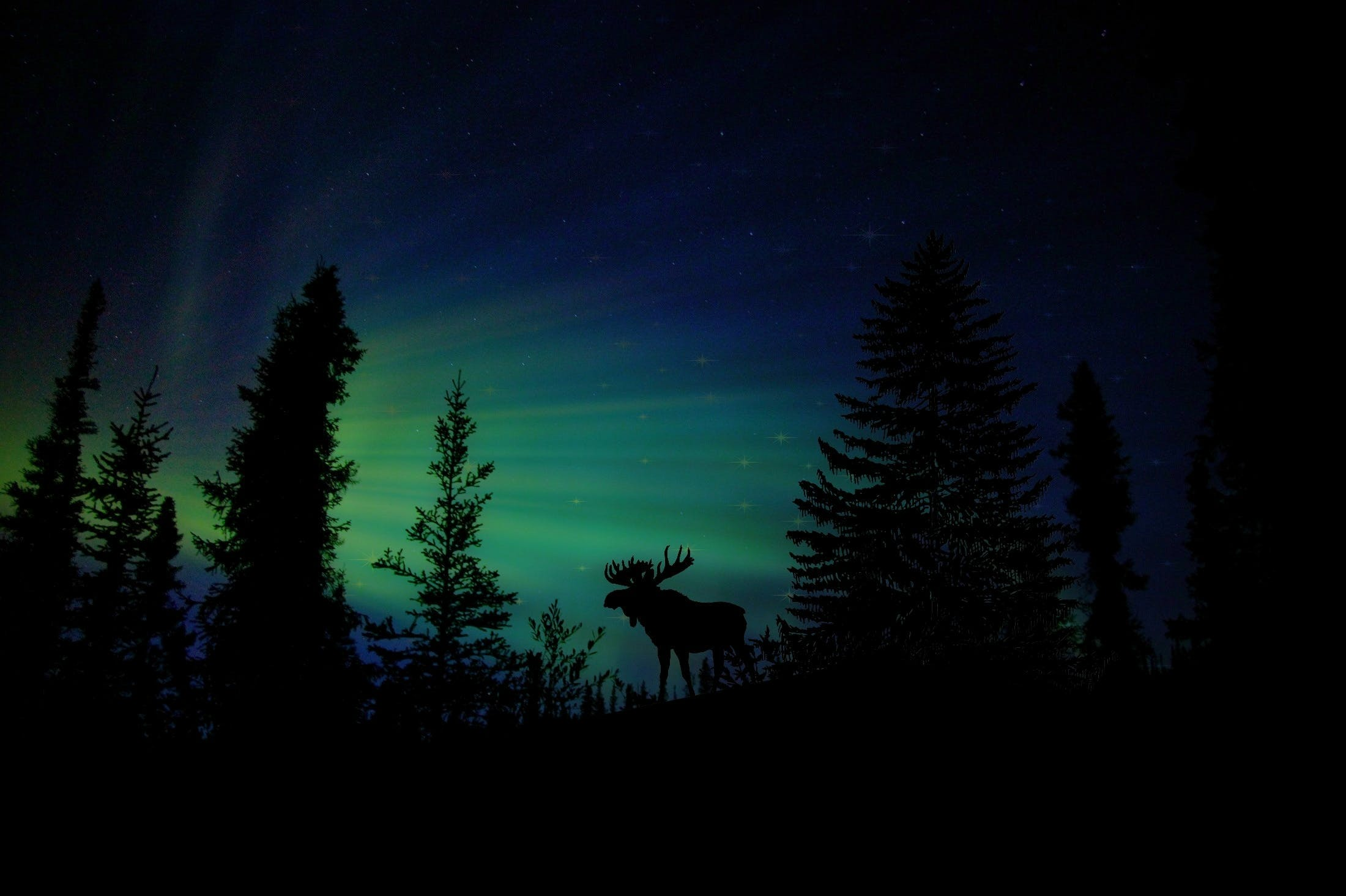 Silhouette Photography of Reindeer Under Aurora Lights