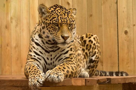 Free stock photo of animal, blur, big, fur