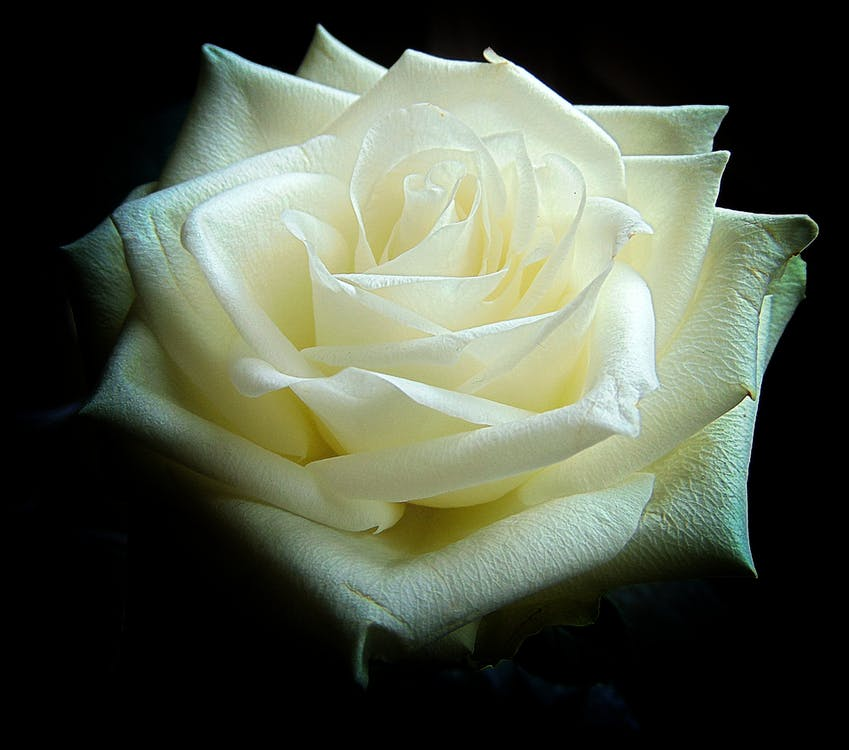 Shallow Focus Photography of White Rose