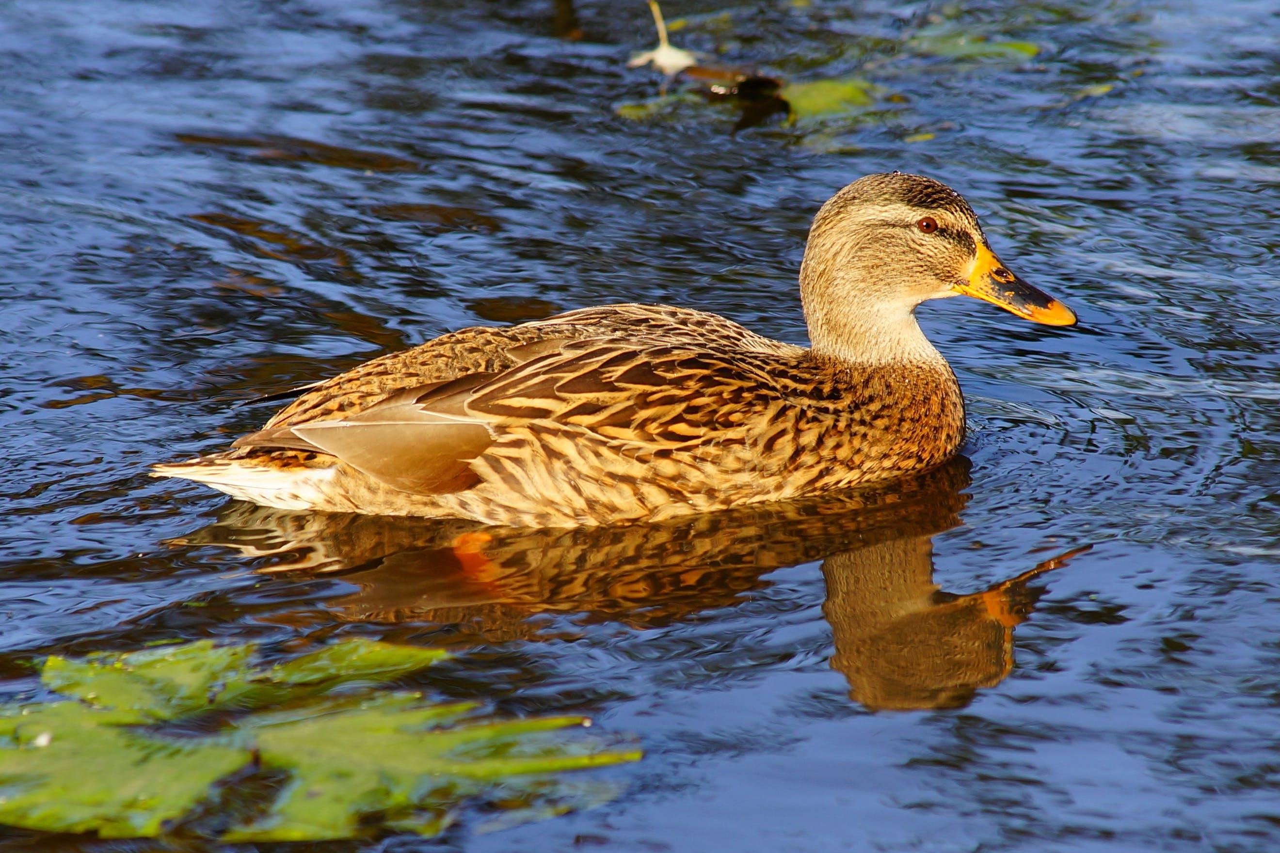 animal, bird, duck
