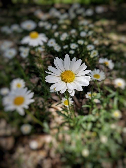 Fotos de stock gratuitas de amor, cerezos en flor, flor, hd