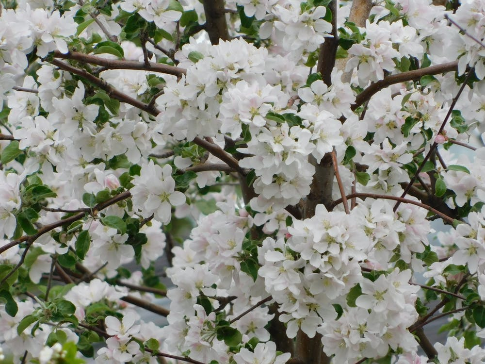 cerezos en flor, floración de cerezos, Flores de cerezo