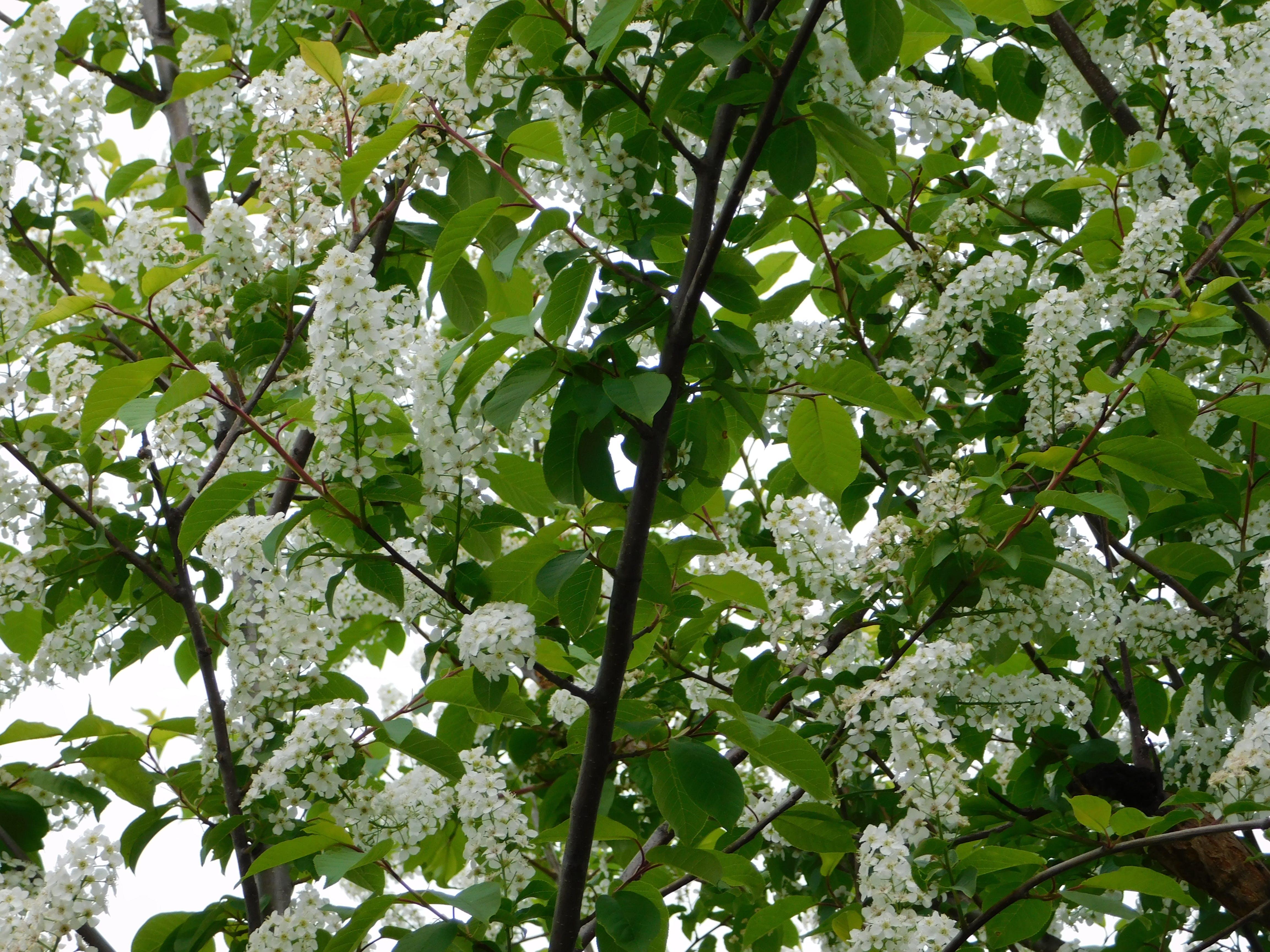 Fotos de stock gratuitas de árbol ornamental