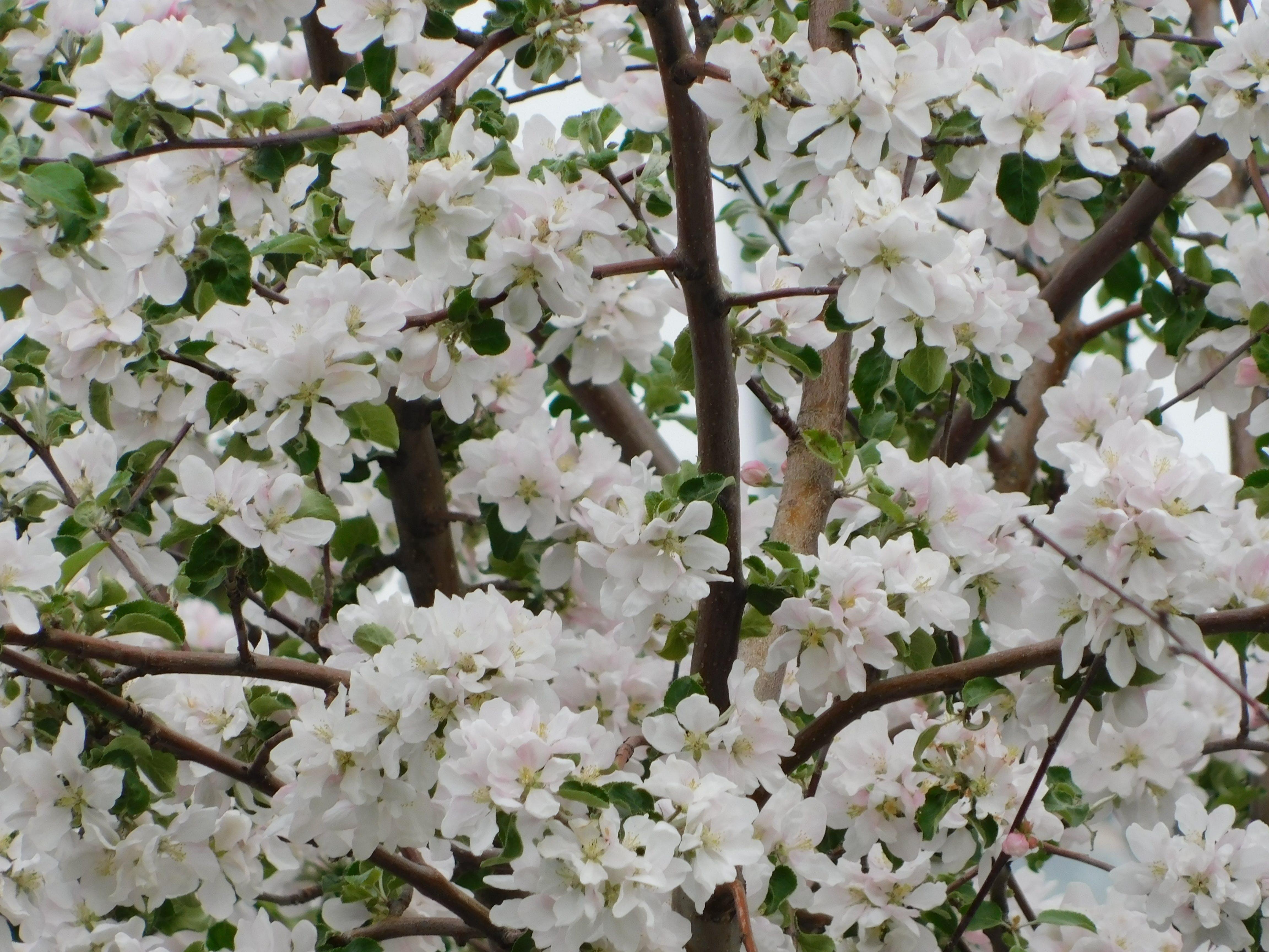 Foto stok gratis bunga sakura