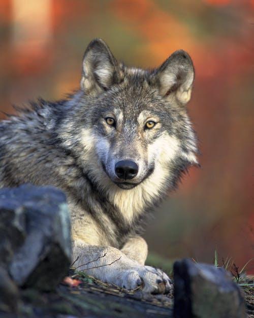 Základová fotografie zdarma na téma divočina, divoký, lovec, predátor