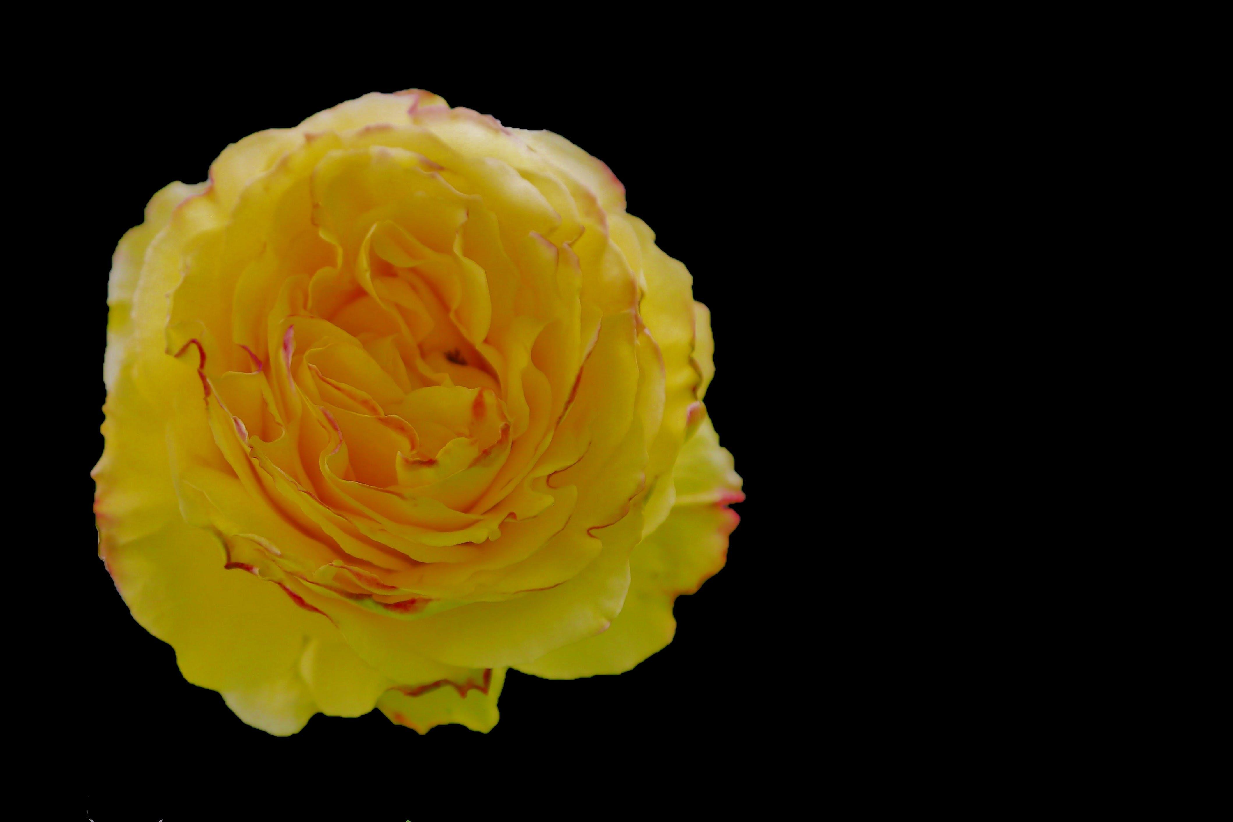 Kostenloses Stock Foto zu frühlingszeit, gelb, hübsch, liebe