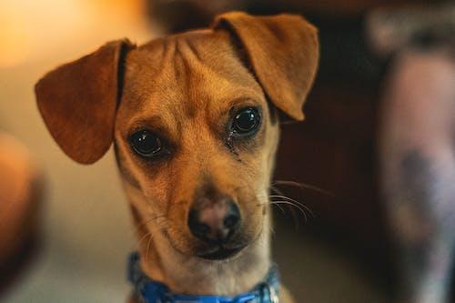 Free stock photo of animal portrait, dog, puppy, small dog