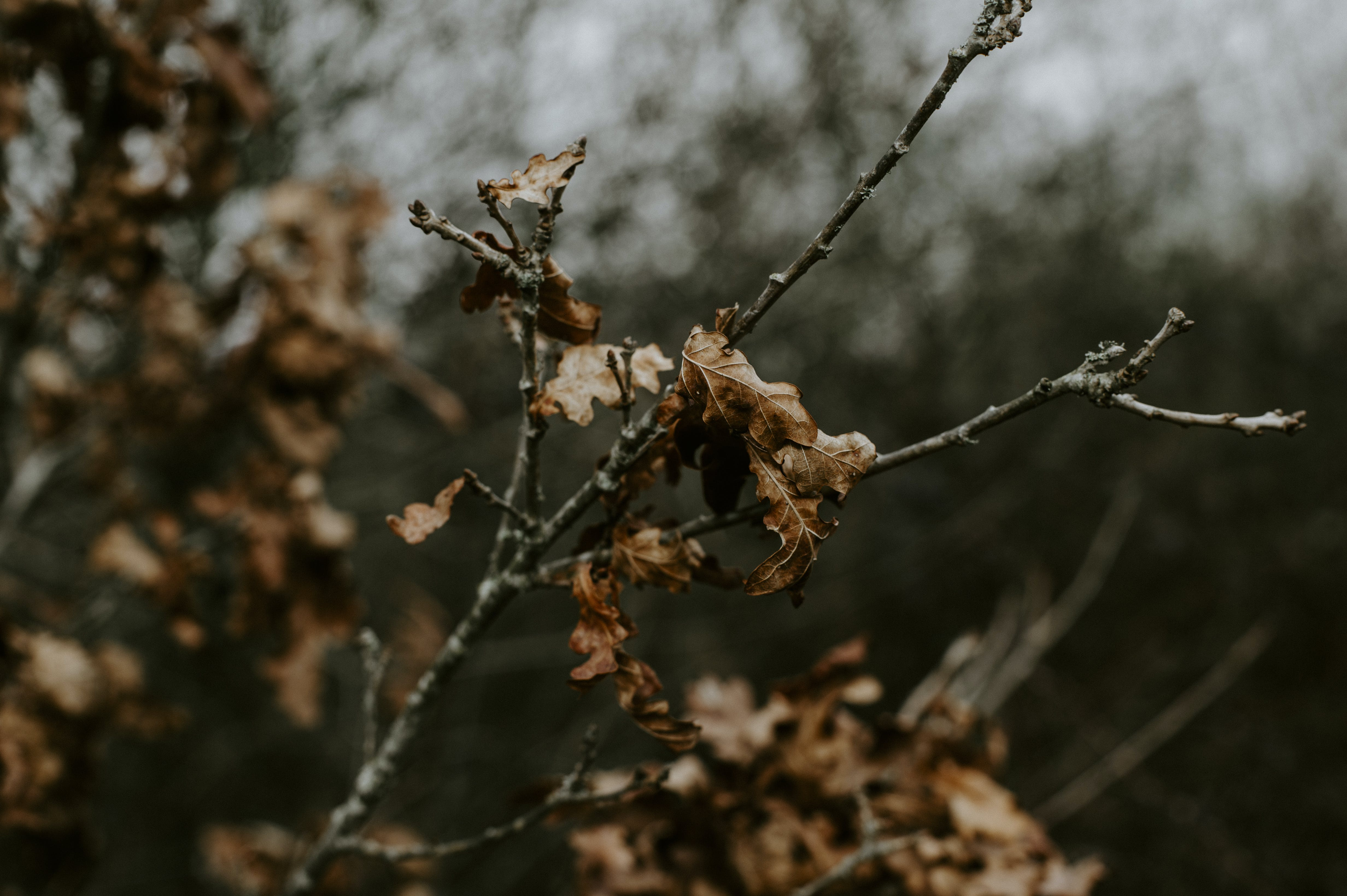 Brown Dried Leaf on Tree