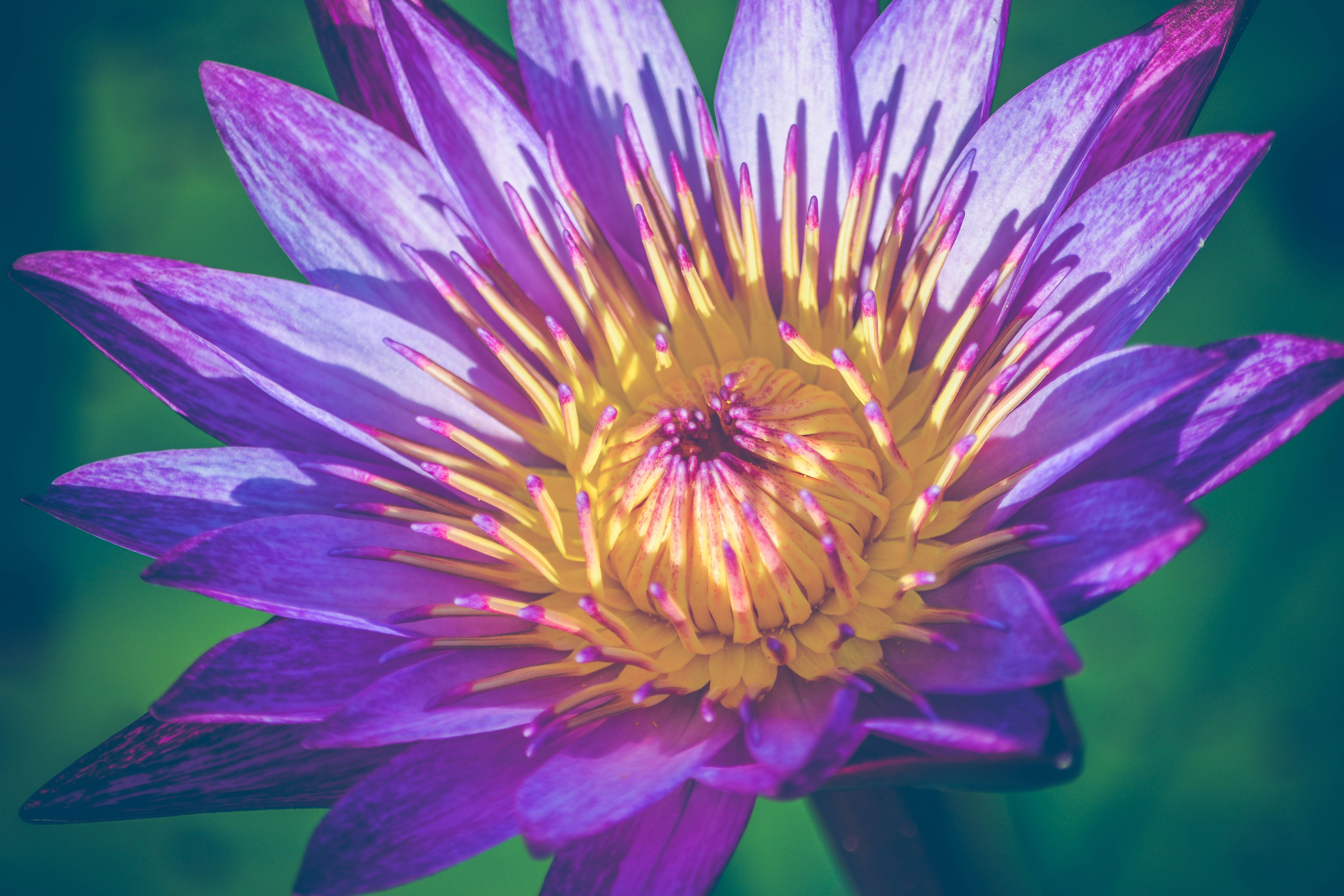 Closeup Photo of Purple and Yellow Water Lily Flower