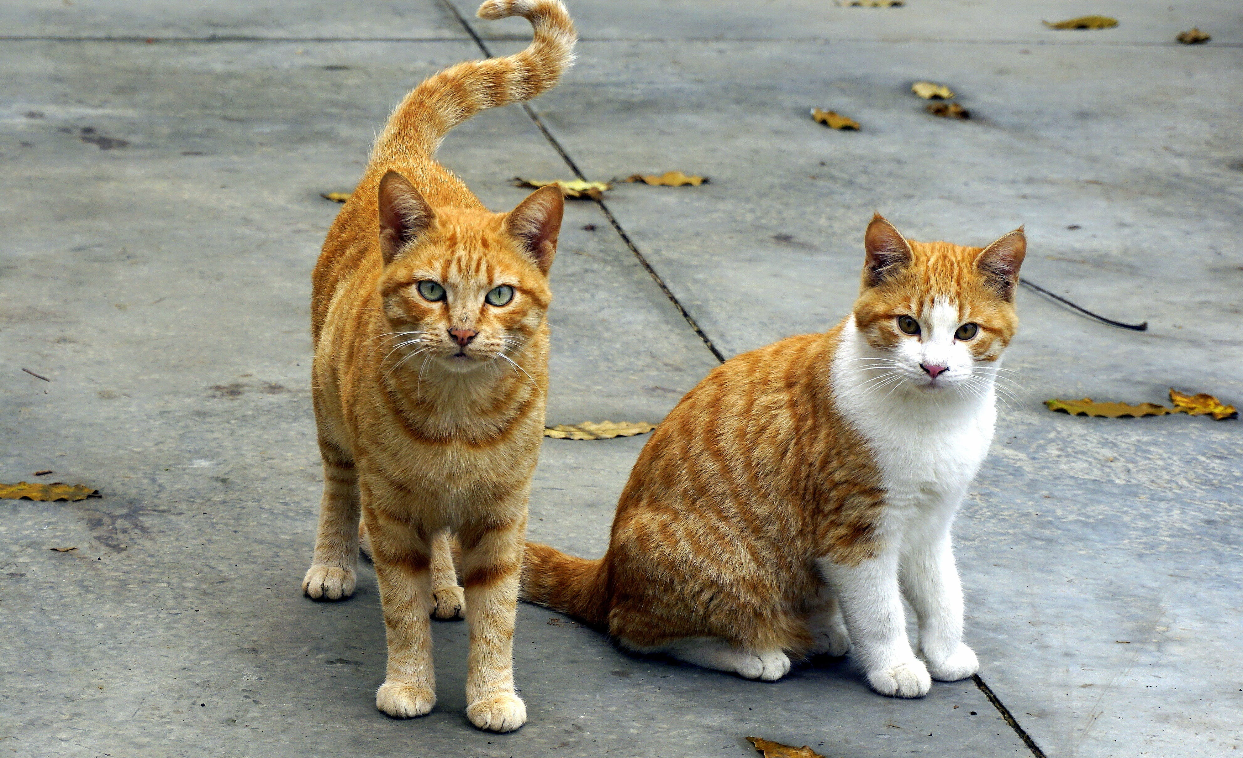 Two Orange Cats Standing and Sitting on Pavement Surrounded With Dried Fallen Leaves