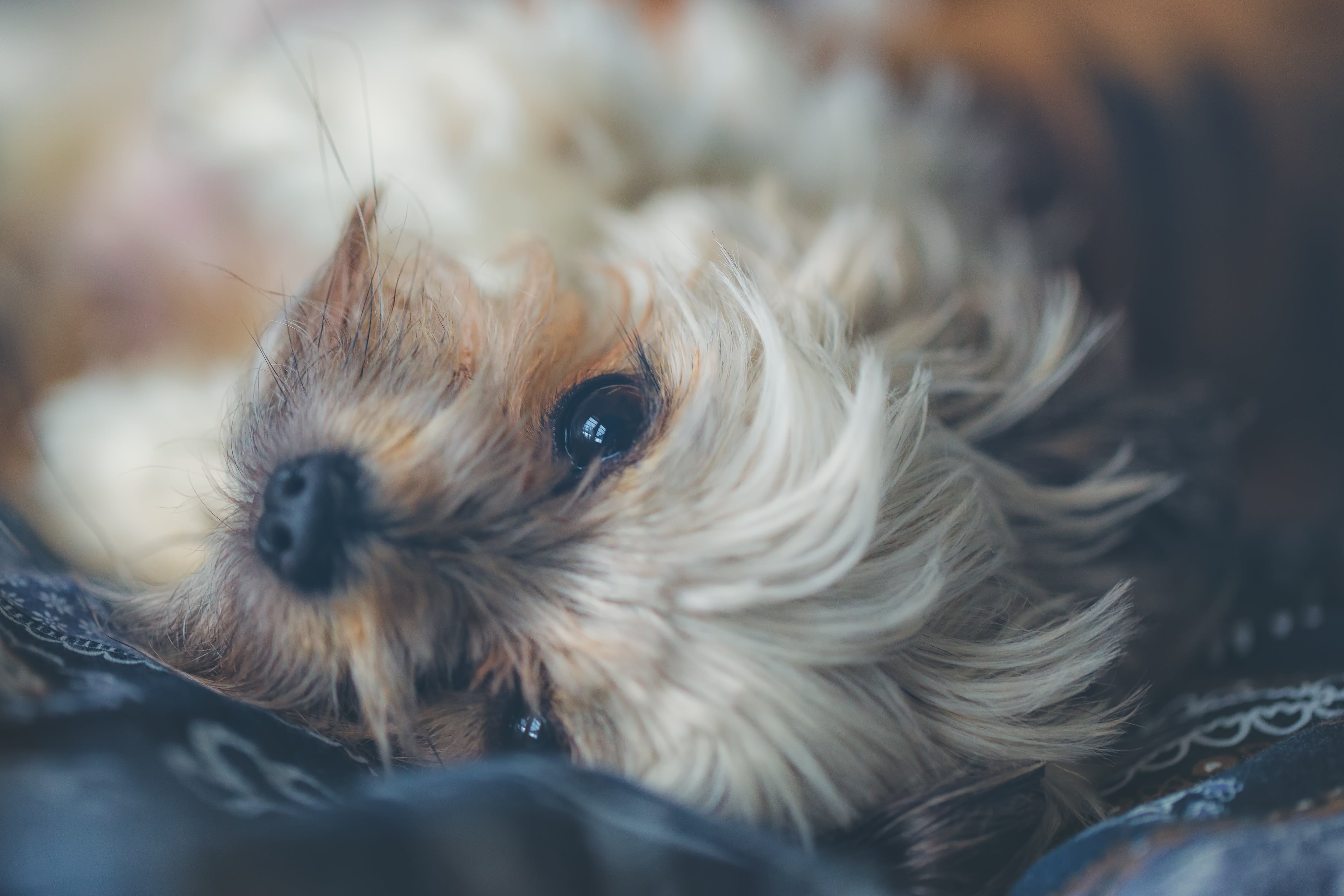 Brown and White Shih Tzu Lying on Ground Close-up Photo