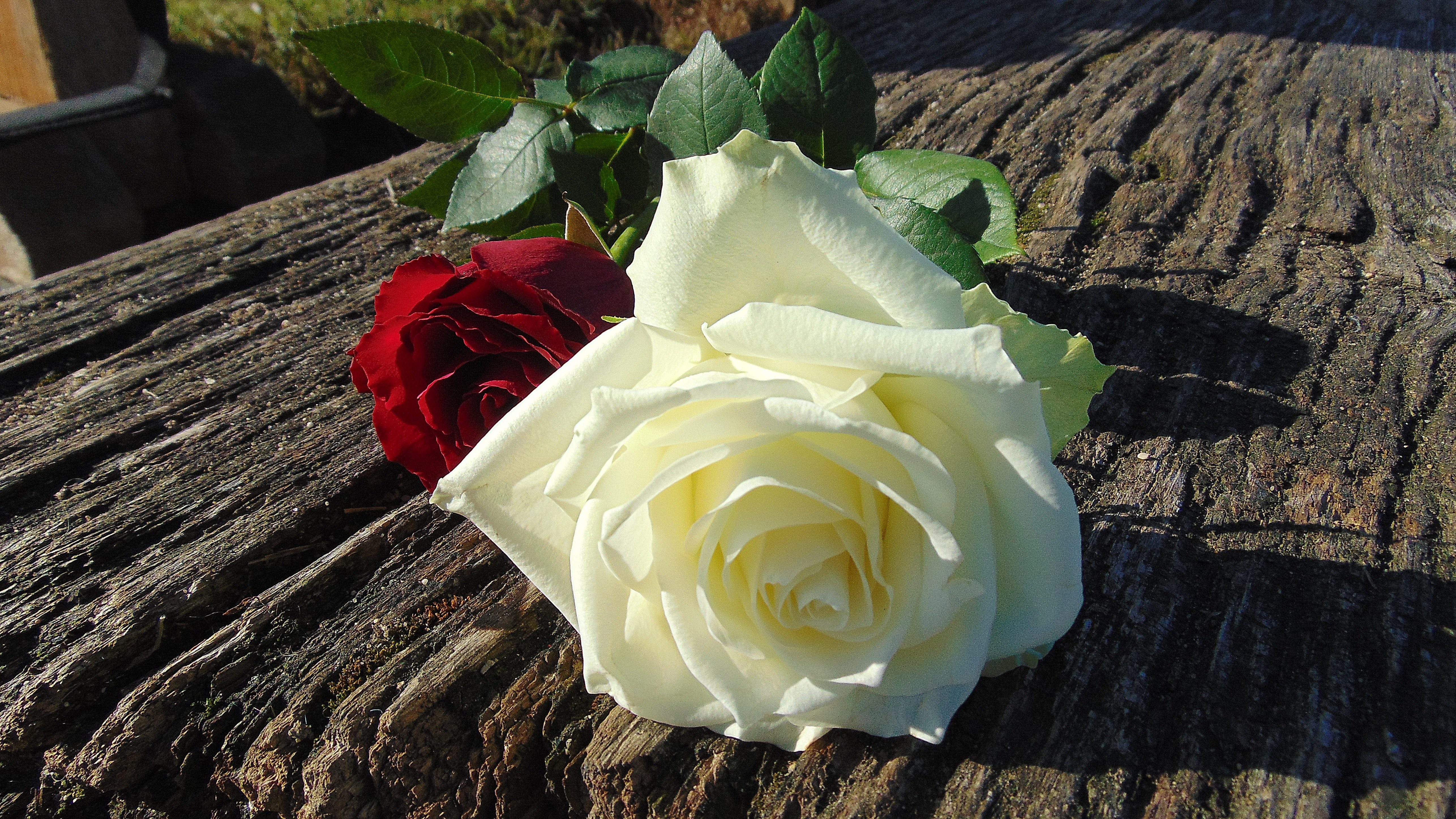 Flower images red roses free download