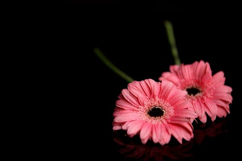 Základová fotografie zdarma na téma flóra, gerbera, HD tapeta, kvést