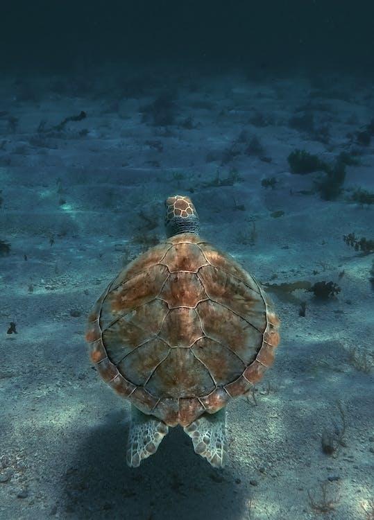 hlboký, morská korytnačka, plávanie