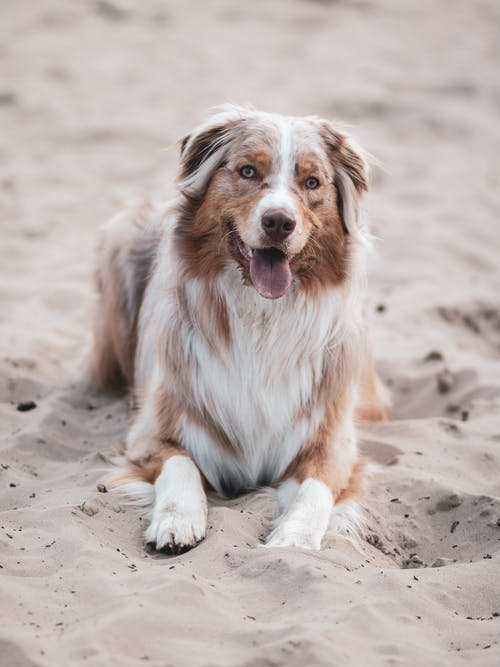 White and Brown Dog Lying on Sand