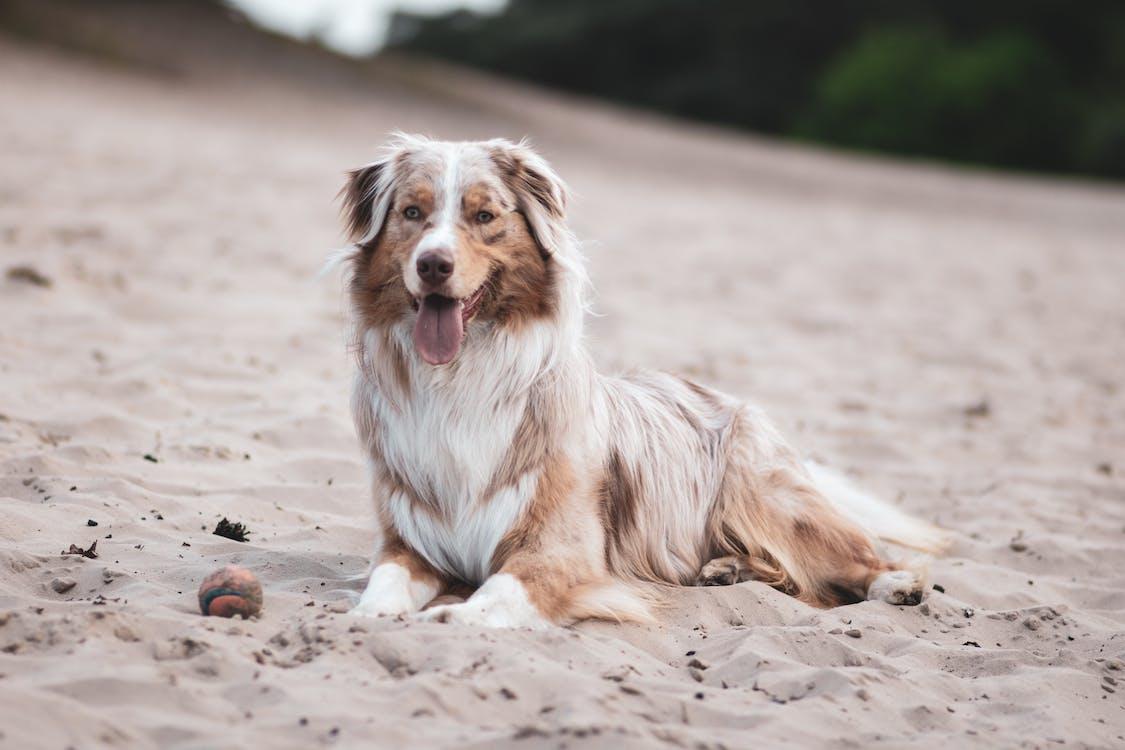 Photo of Long-coated Tan and White Dog Sitting on Sand