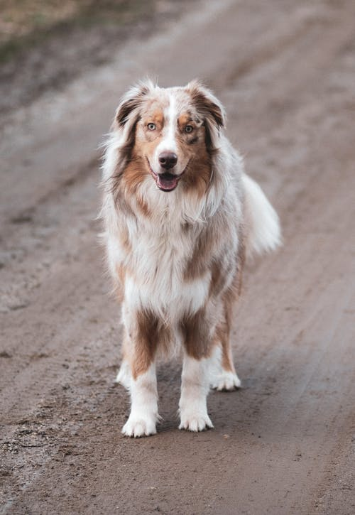 Adult White and Brown Border Collie Standing on Pathway