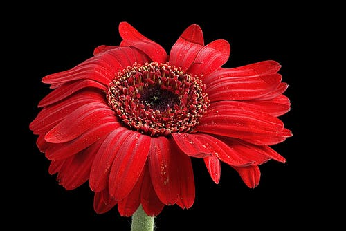 Close-up Photo of Red Petaled Daisy Against Black Background