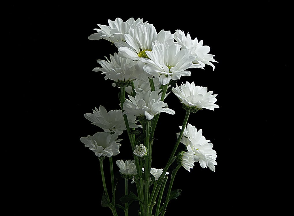 Photo of Daisy Flowers Against Black Background