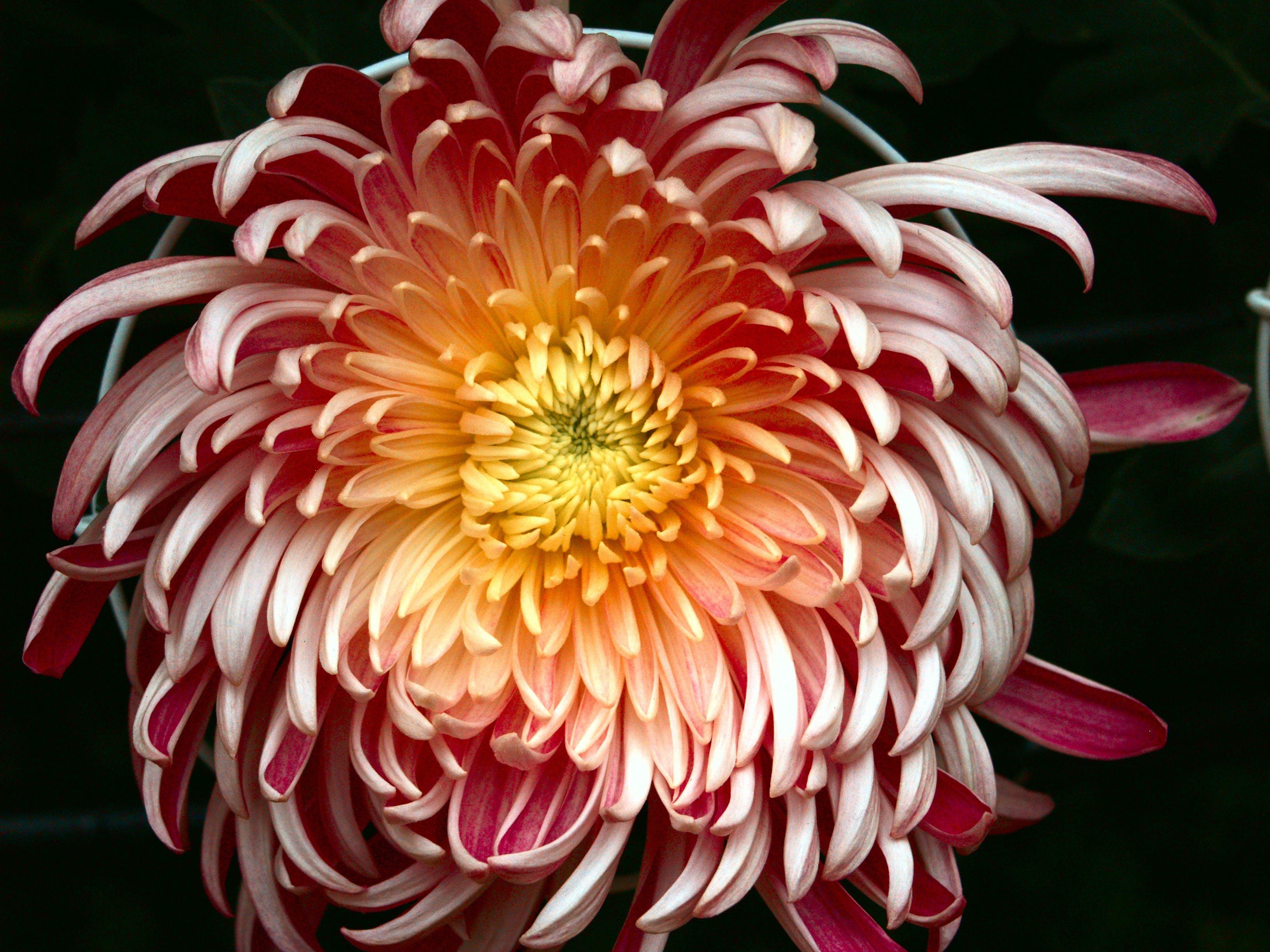 Free stock photo of chrysanthemum, flowers