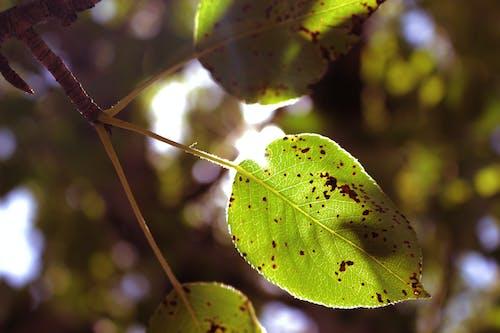 Kostenloses Stock Foto zu birnenblatt, federblatt, grünes blatt