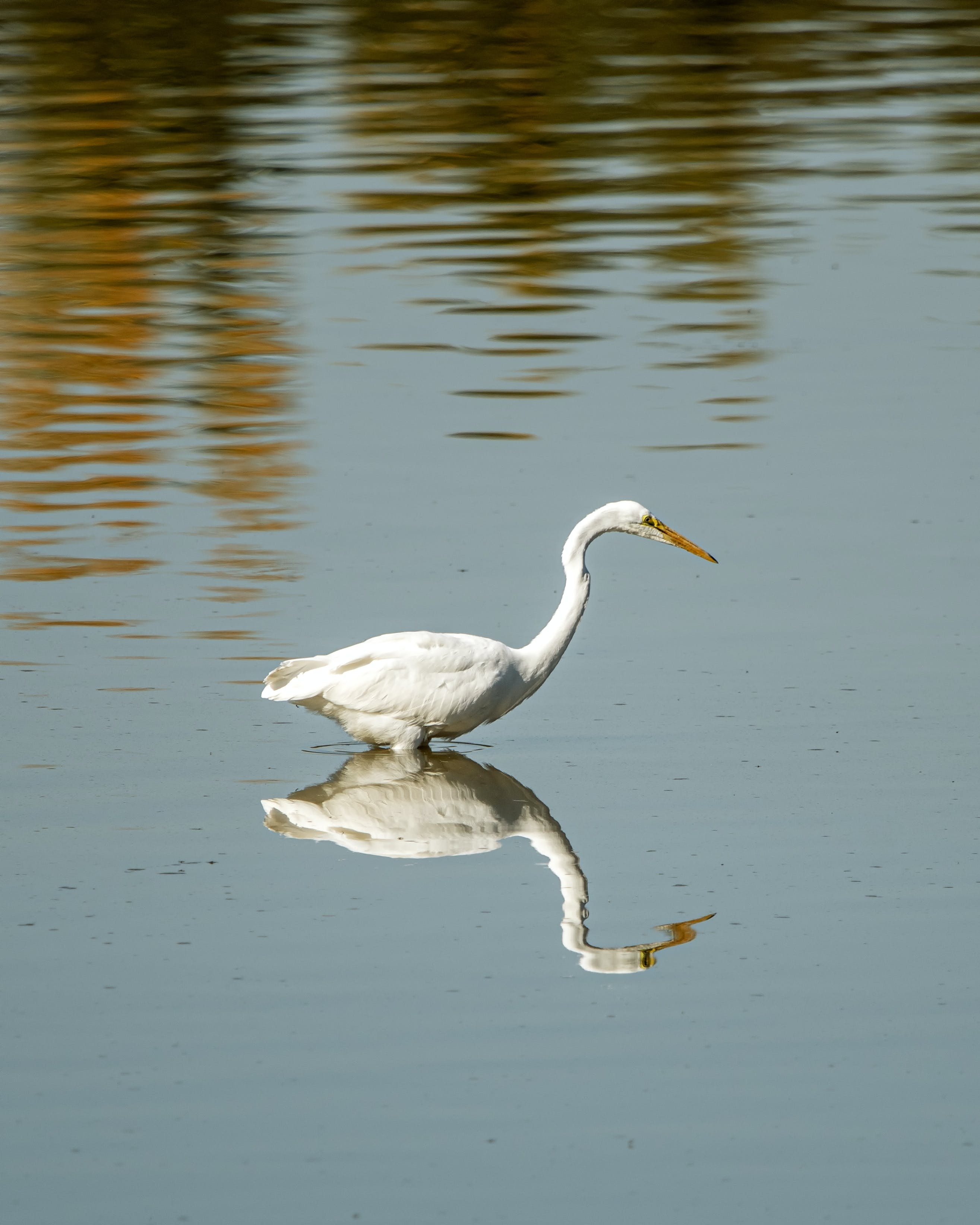 Free stock photo of bird, reflection, white egret