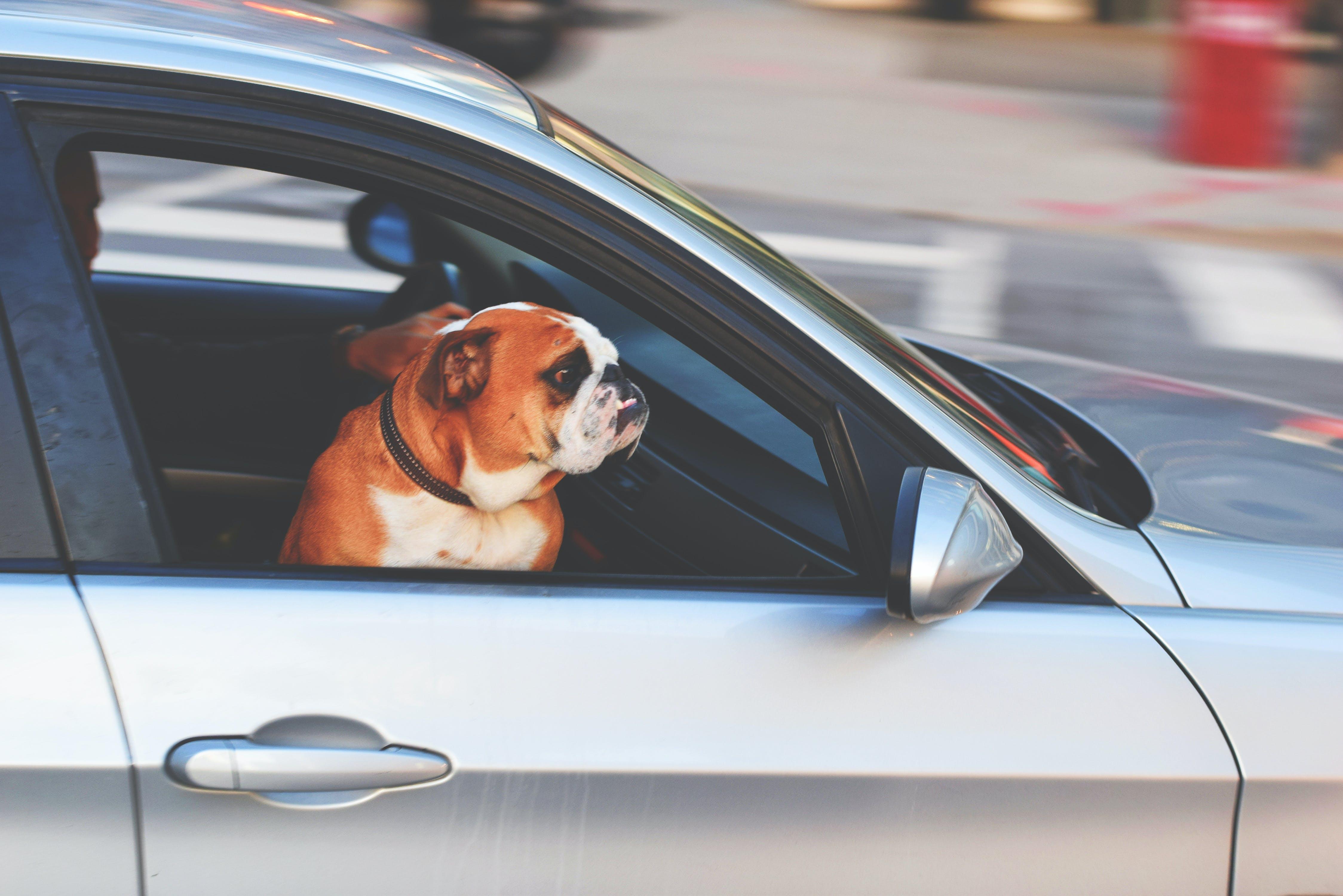 English Bulldog Inside Vehicle