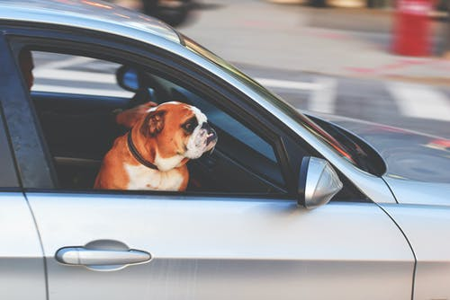 English Bulldog Inside Vehicle