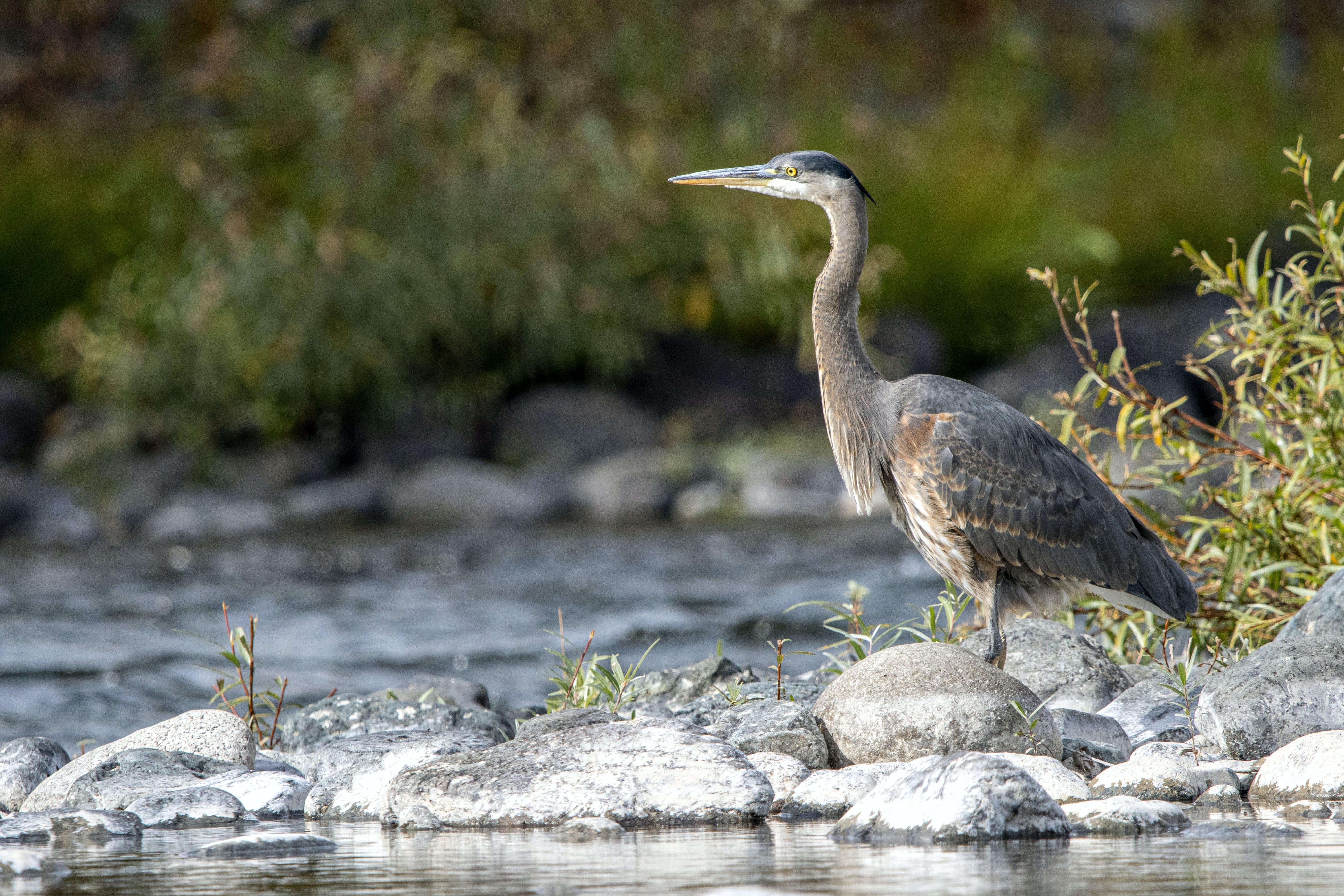 Free stock photo of heron, standing, water