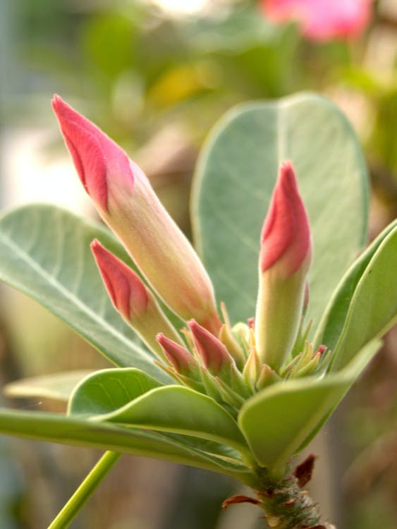 Selective Focus Photography of Pink Adenium Flower Buds
