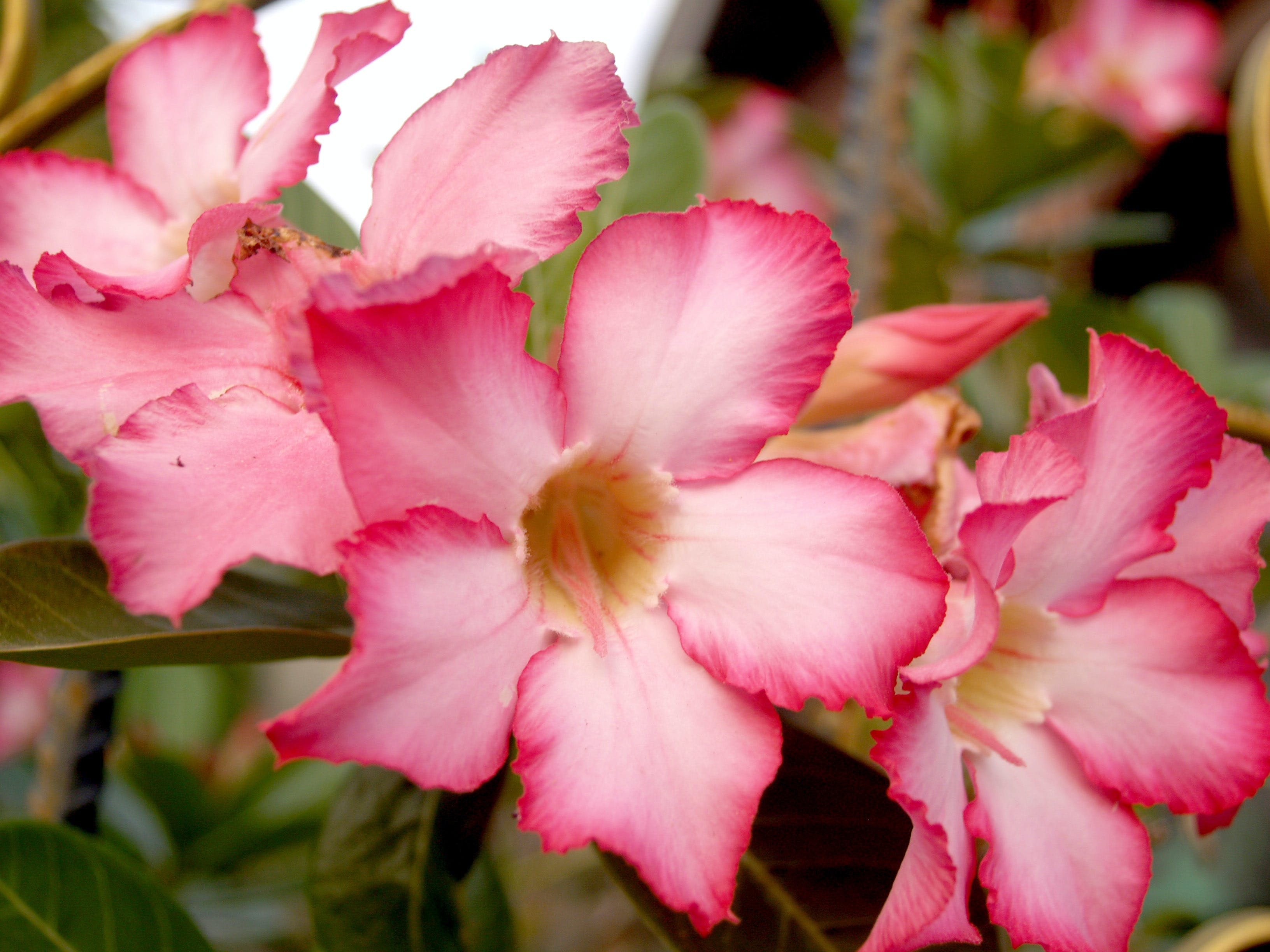Selective Focus Photography of Pink Adenium Flowers in Bloom