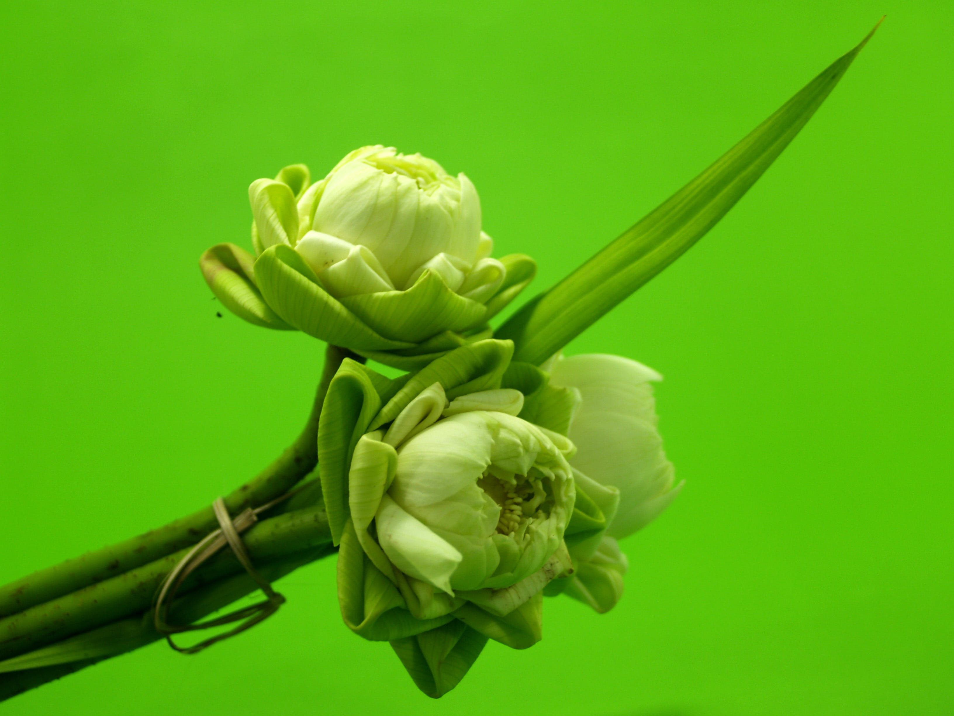 Close-up Photography of White Lotus Flower Buds