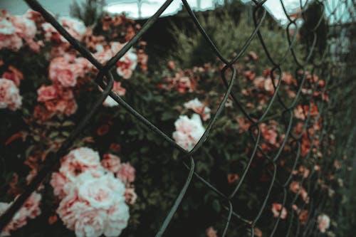 Gratis lagerfoto af blomster, fægte, haven blomster, kæde-link hegn