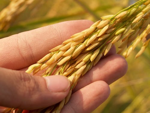 Person Holding Wheat Crops