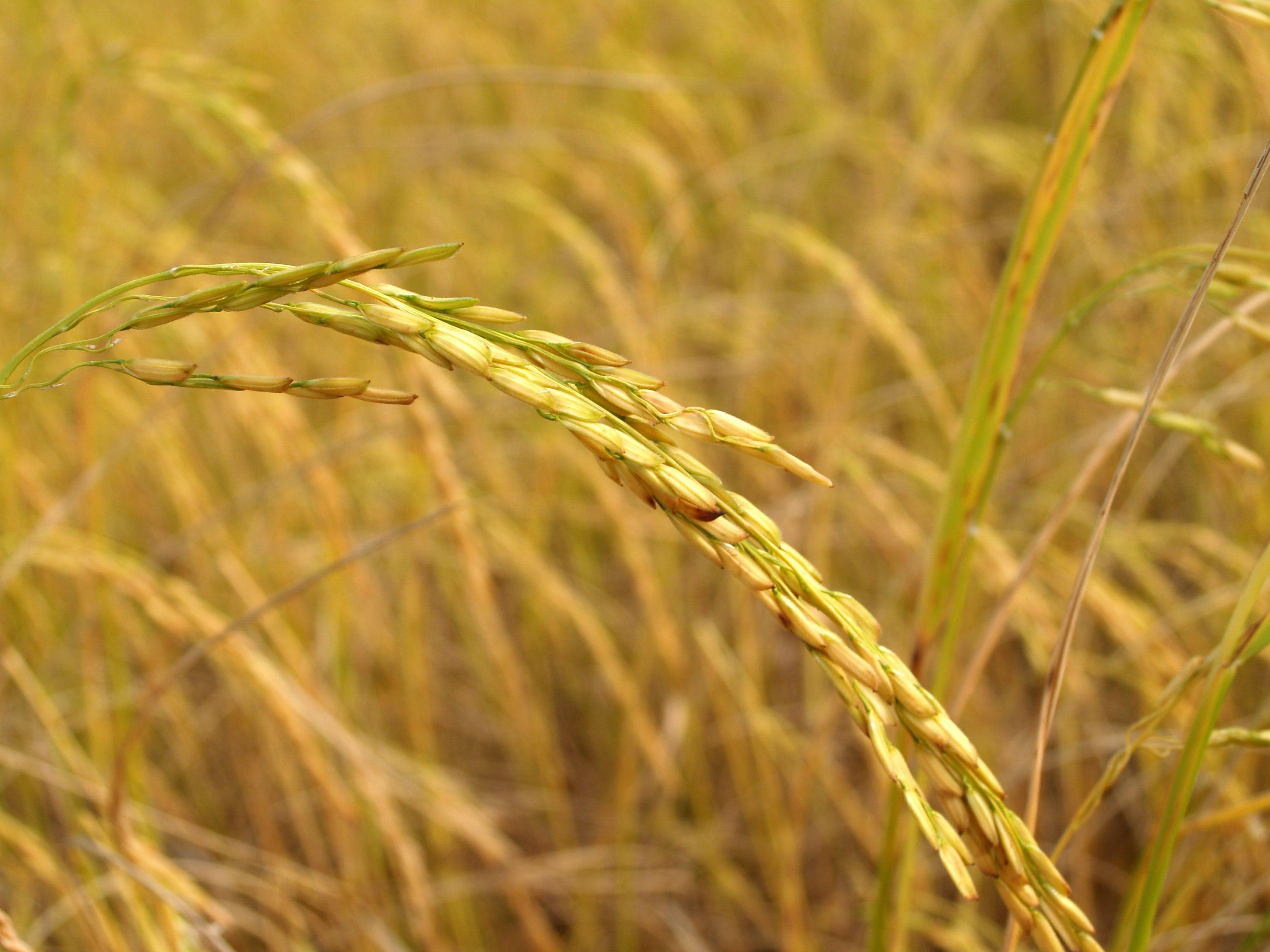 Foto d'estoc gratuïta de arròs, Àsia, blat, camp