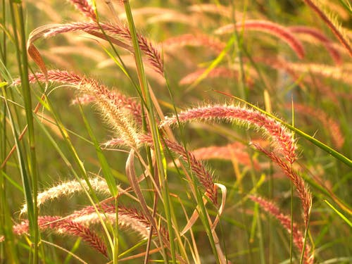 Red Cattail Plants