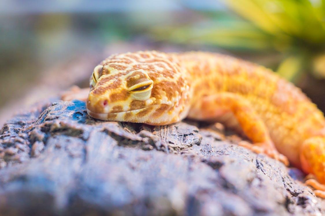 Yellow Lizard on Gray Stone
