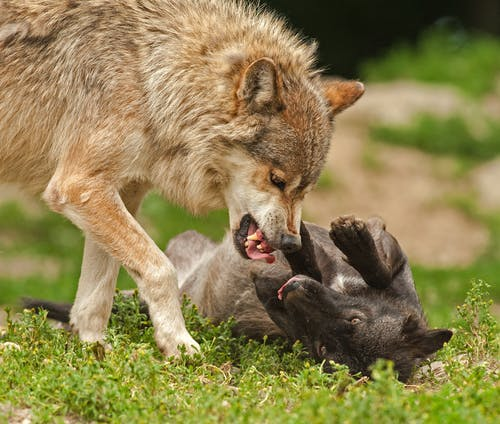 Shallow Focus Photography of Brown and Black Wolves