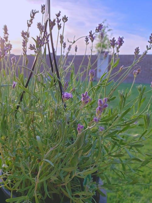 ラベンダー, ラベンダー(花), 咲くラベンダー, 工場の無料の写真素材