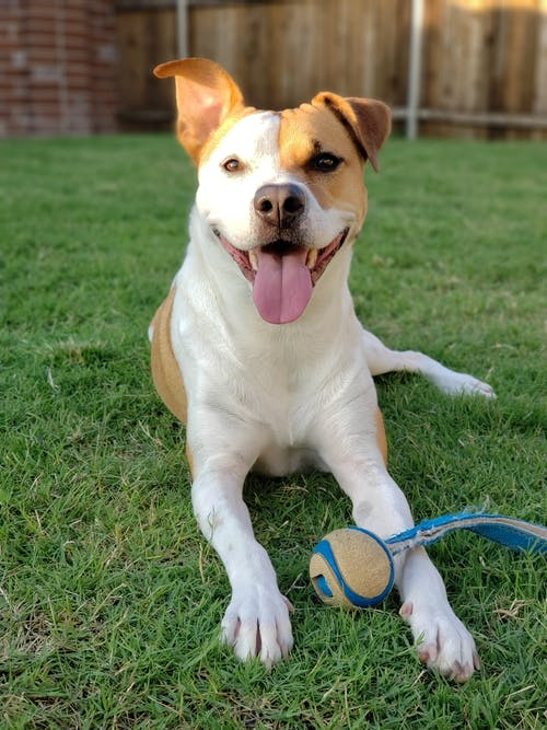 つぶやき, ほほえむ, 幸せな犬, 感動の無料の写真素材