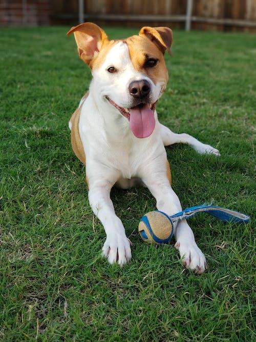 おもちゃ, つぶやき, 幸せな犬, 犬の無料の写真素材