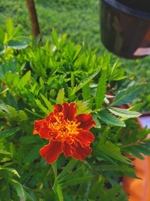 フラワーズ, マリーゴールド, 工場, 植物の無料の写真素材