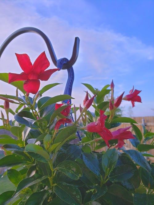 マンデビラ, マンデビラ植物, 工場, 花の無料の写真素材