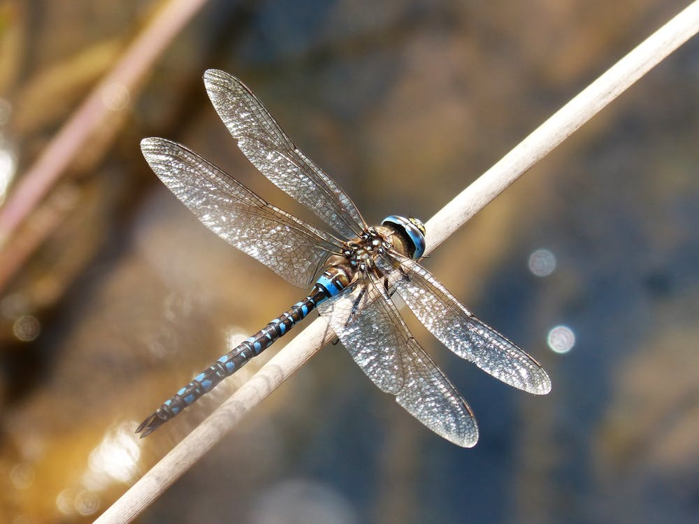 anax imperator, blue dragonfly, dragonfly